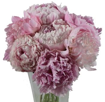 Lovely Light Pink Peonies Flower