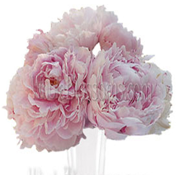 Light Pink Peonies Flowers