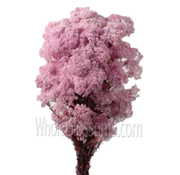 Rice flower tinted pink flower at wholesale price rice flower tinted pink flower mightylinksfo