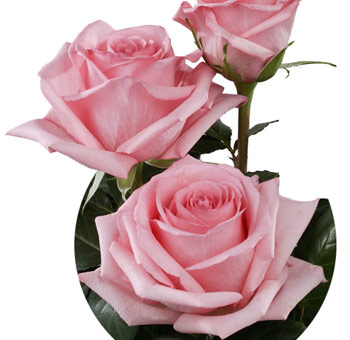 Pink Ecuadorian Roses for Valentine's Day