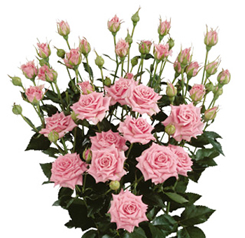 Pink Spray Roses for Valentine's Day