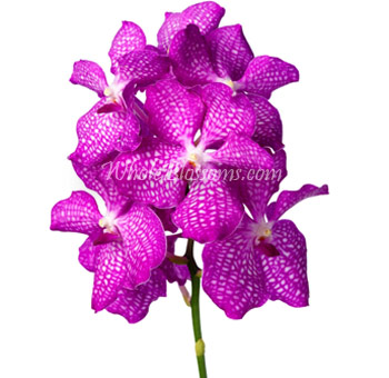 Pink Vanda Orchid Wedding Flowers