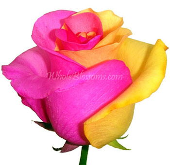 Valentine's Day Pink Yellow Tinted Rose