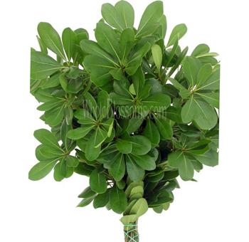 Order Fresh Wholesale Pittosporum Green Filler Online