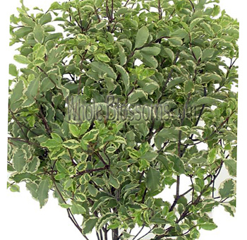Pittosporum Variegated Italian