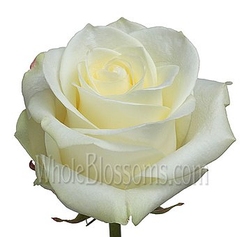 Polar Star Biological Organic Bulk Roses