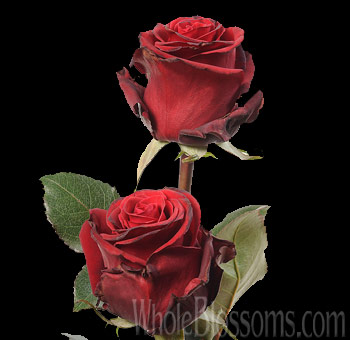 Prestige Red Rose