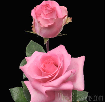 Priceless Pink Wholesale Roses