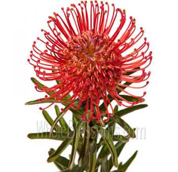 Protea Pincushion Red Flower