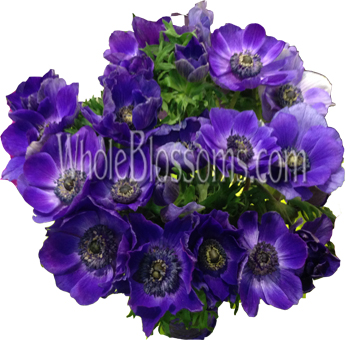 Purple Blue Anemone Flower