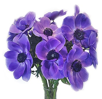 Blue Anemone Flowers With Purple Tinge