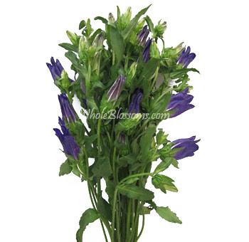 Campanula Purple Flower