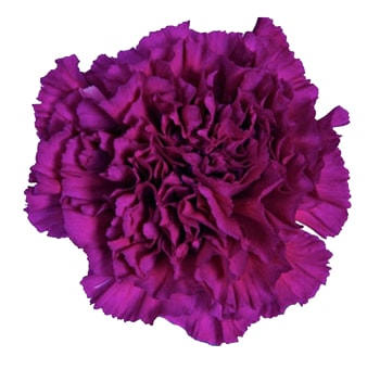 Purple Carnation Flower