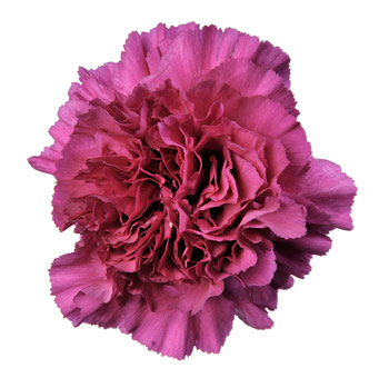 Carnation Purple Flower Select