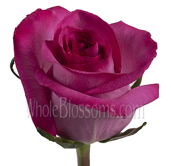 Purple Cezanne Hot Pink Roses