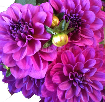 purple-dahlia-lagoon