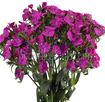 Dianthus Purple Flower