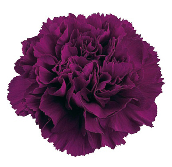 Purple Tinted Carnations for Valentine's Day