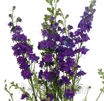 Larkspur Flower Purple