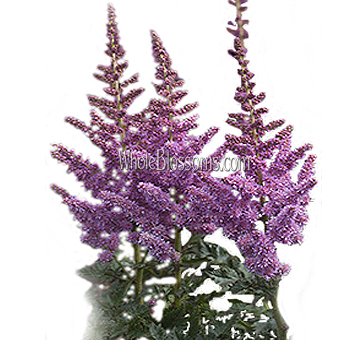 Fresh Cut Astilbe Lavender Purple Flowers