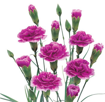 Wholesale Mini Carnations - Purple