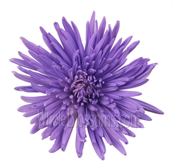 Spider Mum Anastasia Purple Tinted