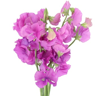 Sweet Pea Purple Flowers