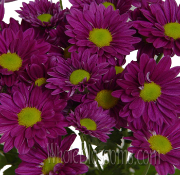 Daisy Pom Tinted Purple Flowers