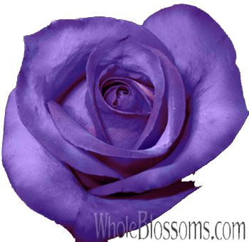 Purple Roses Tinted
