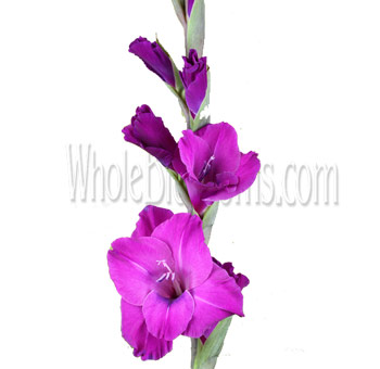 purple-violetta-gladiolus-flower