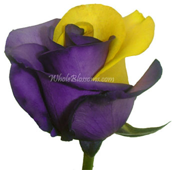 Valentine's Day Tinted Purple Yellow Rose