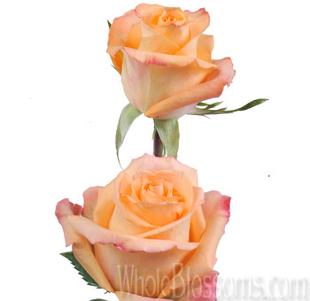 Queensday Orange Peach Roses