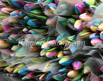 rainbow-tulip-wholesale