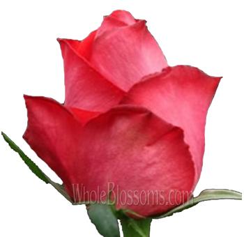 Raphaela pink wholesale roses raphaela pink roses mightylinksfo
