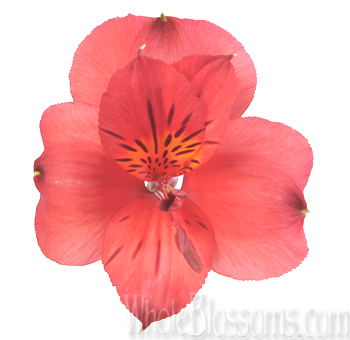 red-alstroemeria-wedding-flowers