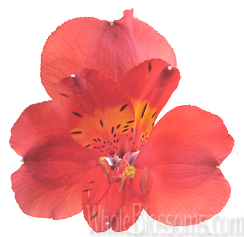 red-alstroemeria-wholesale-flower
