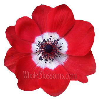 red-anemone-dark-center