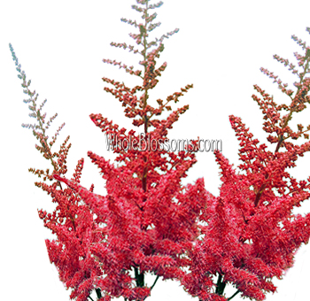 Fresh Cut Wholesale Astilbe Red Flowers