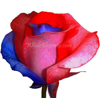 Red Blue Rainbow Rose