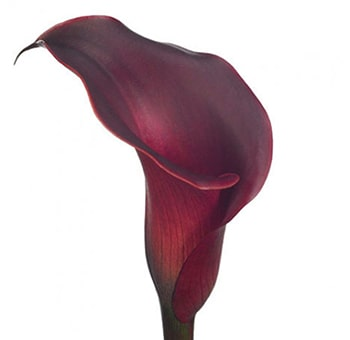 Red Calla Lily Wedding Flower