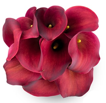Long Calla Lily Red Flowers