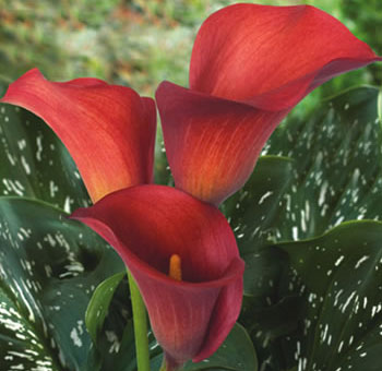 Red Aranal Calla Lilies Wedding Flowers