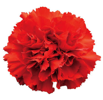 Fresh Red Carnation Flower