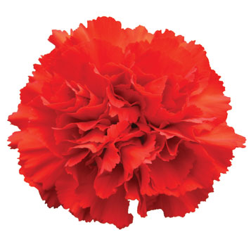 Red Carnations for Valentine's Day