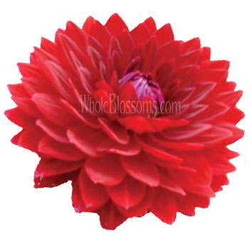 red-dahlia-royal