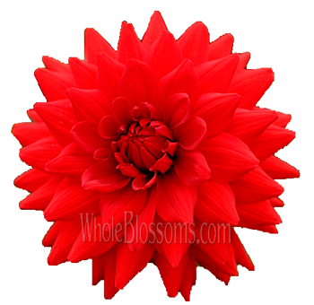Dahlias Red Flowers