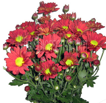 Red Daisy Poms Flowers