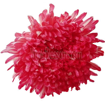 Jumbo Football Mum Tinted Red Dark Pink Flower