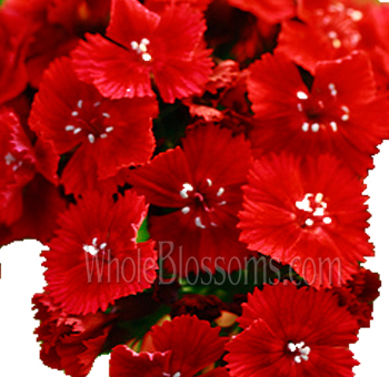 Dianthus Red Flower