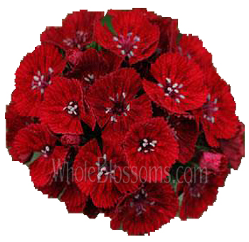 red-dianthus